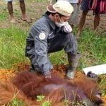 BKSDA Kaltim Evakuasi Orangutan Yang Masuk Pemukiman Warga Paser