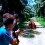 Orangutan Muncul di Kebun Sawit Berau Kaltim